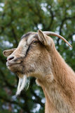 Portrait of a horned Goat. Stock Image