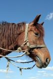 Portrait of horse. Low angle side portrait of brown horse with rope riding tack, blue sky and cloudscape background Royalty Free Stock Photos