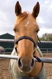 A portrait of a horse. A portrait of a brown horse stock photography