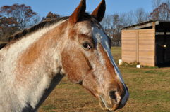 Portrait of horse. Portrait of brown horse outdoors with farm building in background Royalty Free Stock Photography