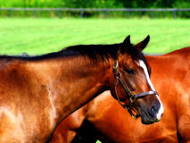 Portrait of a Horse 2. A headshot of a quarterhorse grazing in a pasture in northeast Ohio, USA Stock Image