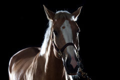 Portrait of a horse Stock Images