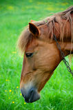 Portrait of a horse. Beautiful portrait of a horse in field Stock Images