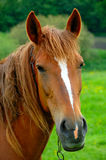 Portrait of a horse Royalty Free Stock Photos