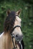 Portrait of horse. The bashkir breed royalty free stock photo