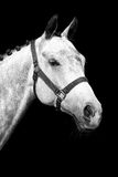 Portrait of a horse Royalty Free Stock Photography