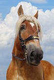 Portrait of horse. Royalty Free Stock Photo
