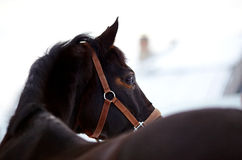 Portrait of a horse. Royalty Free Stock Images
