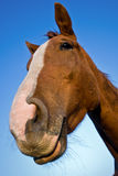 Portrait of a horse Royalty Free Stock Images