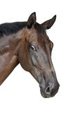 Portrait of a horse. Isolated on a white background Royalty Free Stock Image