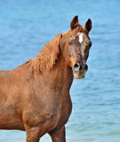 Portrait of a horse against the sea. Stock Image