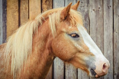 Portrait of the Horse Royalty Free Stock Photo