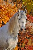 Portrait of  horse in autumn forest Stock Image