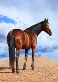 Portrait of Bay horse on the background of cloudy sky. Portrait of horse on the background of cloudy sky Royalty Free Stock Photo