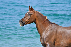 Portrait of horse on a background of ocean waves. Royalty Free Stock Image