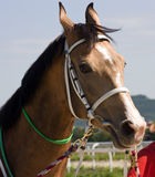 Portrait of horse. Royalty Free Stock Photography