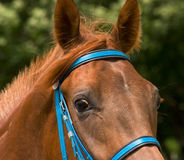 Portrait of horse. Royalty Free Stock Images