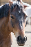 Portrait of a horse. Portrait of beautiful red horse in summer Royalty Free Stock Photography