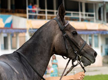 Portrait of horse. Royalty Free Stock Image