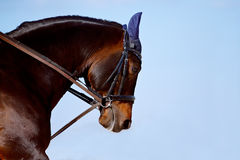 Portrait of a horse in a bridle. Against the sky Stock Photography