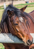 Portrait horse Royalty Free Stock Images