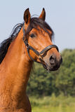 Portrait of a horse. Portrait of a brown KWPN horse Stock Image