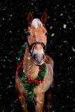 Portrait of horse with chrsitmas wreath isolated on black and sn Royalty Free Stock Photography