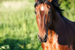 Portrait horse close-up on a background of grass. View of bay horse on a green background royalty free stock photo