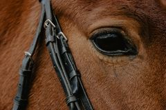 Portrait of a horse, close-up, muzzle royalty free stock photo
