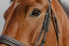 Portrait of a horse, close-up, muzzle royalty free stock photography