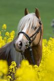 Portrait of horse in the colza field. Portrait of stallion horse in the colza field Stock Image