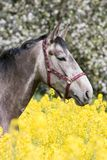Portrait of horse in the colza field Stock Photo