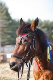 Portrait of a horse decorated with colorful ribbons for a festive performance on the parade ground royalty free stock photo