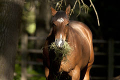Portrait of horse eating. Stock Image