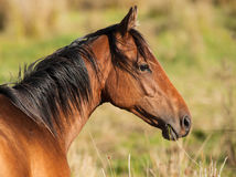 Portrait of a horse eating grass Stock Image