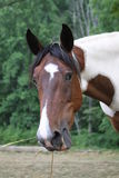 Portrait of horse eating hay. Close up portrait of brown and white horse eating hay in countryside Royalty Free Stock Images