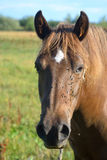 Portrait of a horse. Royalty Free Stock Photography