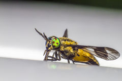 Portrait of a Horse-fly Stock Photography