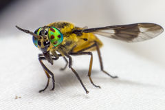 Portrait of a Horse-fly Stock Photos