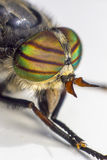 Portrait of a Horse-fly Royalty Free Stock Image