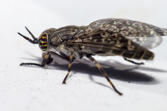 Portrait of a Horse-fly Stock Image