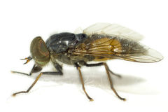Portrait of a Horse-fly. Horse-fly is the most widely-used English common name for members of the family Tabanidae. Apart from the common name horse-flies, broad Royalty Free Stock Photo