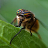 Portrait of a Horse-fly, Tabanidae Royalty Free Stock Image