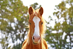 Portrait of a horse free on a field in Argentina. Portrait of a horse criollo on a field in Argentina, very beautyful Stock Photography