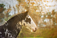 Portrait of a horse free on a field in Argentina. Portrait of a horse criollo on a field in Argentina, very beautyful Royalty Free Stock Photo