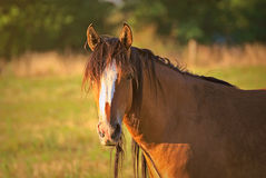 Portrait of a horse free on a field in Argentina Stock Photography