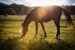Portrait of a horse grazing Royalty Free Stock Photo