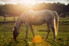 Portrait of a horse grazing Stock Image