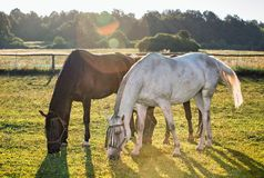Portrait of a horse grazing Royalty Free Stock Image