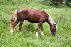 Portrait of a horse on a green meadow. Altai Stock Images